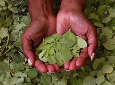 Le Moringa, ''l'or vert'' de l'Afrique