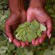 Le Moringa l'or vert de l'Afrique