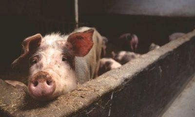 porcs infectés togo