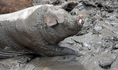 Cochon qui ùange les testicules de son maitre