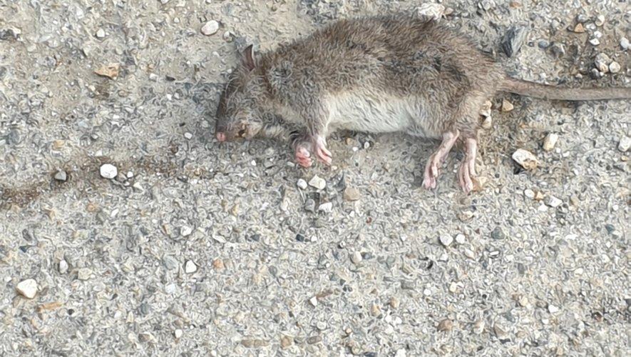 Violer un rat